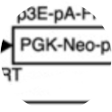 FRT‐PGK‐Neo‐pA‐FRT was used for its selection casette in the generation of the GNrep mouse line which can be used as a reporter mouse for front-rear cell polarity.