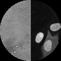 Cyclin A2-Venus Reporter Cell line [RPE1 cycA2-venus/+ KI clone D6]