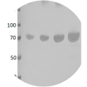 Western blot of BSA protein loaded; Lane 1, 250ng. Lane 2, 500ng. Lane 3, 1000ng. Lane 4, 2000ng. Anti-BSA recombinant antibody used at 1/500 dilution. 