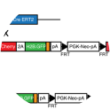 From Barbacena et al Genesis. 2019 Jun;57(6):e23299. doi: 10.1002/dvg.23299. Epub 2019 Apr 16. Validation and characterization of the GNrep mouse line. (a) GNrep mouse line was crossed with the Cdh5(PAC)‐CreERT2 line. Tamoxifen‐mediated activation of Cre activity leads to excision of loxP‐STOP‐loxP cassette and expression of the double fluorescent reporter cassette. (b) Analysis of the Cre‐mediated excision of the LoxP‐STOP‐LoxP cassette by genomic PCR (presence of a band at 307bp) upon tamoxifen treatment, in designated genotypes.
