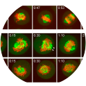 ©2010 Zeng et al. J Cell Biol. Dec 27;191(7):1315-32. doi: 10.1083/jcb.201008106.    HeLa cells stably expressing mCherry-tagged histone H2B and EGFP-tagged α-tubulin were transfected for 48 h with control or protein phosphatase 6 catalytic subunit (PPP6C) si08 duplexes and then imaged every minute at three stage positions for 10 h using a spinning-disk confocal microscope (Ultraview Vox). Laser setting were 3% with 30-ms exposure per channel, and 35 optical sections spaced 0.5 μm apart were taken for both channels. Representative examples of cells passing through mitosis are shown. The times are given in hours and minutes. Arrowheads mark abnormal spindle poles and lagging chromosomes. Bar, 10 μm.