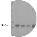 Figure 1. Western blot depicting various dilutions of protein A-HRP; used as a secondary replacement