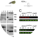 Generation of HDAC1 and HDAC2 conditional knockout ES cell lines. (A) An E14 ES cell line constitutively expressing a Cre/Estrogen Receptor (CreER) fusion from the ROSA26 locus was used to generate homozygous conditional knockout alleles for HDAC1 and HDAC2. Both copies of exon 2 were flanked by LoxP sites, using consecutive rounds of gene targeting. (B) Southern blots showing wild-type and exon 2 targeted HDAC1Lox/Lox and HDAC2Lox/Lox loci. Addition of 4-hydroxy tamoxifen (OHT) activates the CreER fusion and induces deletion of exon2 (HDAC1Δ2/Δ2, HDAC2Δ2/Δ2) in ES cells; >95% recombination is observed after 24 h. (C) Quantitative Western blot shows ligand-inducible deletion of HDAC1 and -2 protein in whole-cell extracts from HDAC1Lox/Lox and HDAC2Lox/Lox ES cells, respectively. Cells were cultured for up to 10 days (0–3 days in the presence of OHT). α-Tubulin was used to normalize protein loading. Blots were visualized and quantitated using a LiCOR scanner. Data are representative of three independently tested clones for each genotype.