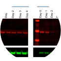 Quantitative Western blot showing control (-OHT; left) and 4-OHT inducible degradation of HDAC3 protein (right) upon addition to cell culture media. Cells were cultured for 4 days; α-tubulin was used to normalise protein loading.