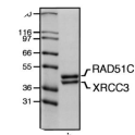 Purified RAD51C–XRCC3 complex. Proteins were purified from Sf9 cells infected with pBAC51Chis10 and pBACX3his6 and visualized by SDS-PAGE followed by Coomassie blue staining. (Lane a) Molecular mass markers; (lane b) 3 μg of RAD51C–XRCC3 complex.  Adapted from Fig 5, Masson et al. 2001. Genes Dev. 15(24):3296-307. PMID: 11751635