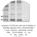 Image for Anti-O-GlcNAc (CTD110.6) antibody