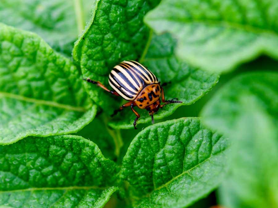 Serangga kebun
