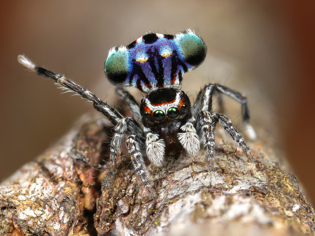 Maratus harrisi. Canon EOS 70D, Canon MP-E 65mm f2.8 lens, 1/160s @ f/8, ISO 100, handheld. MT24EX macro twin light flash, diffused with 8mm packing foam. Images stacked in Photoshop.