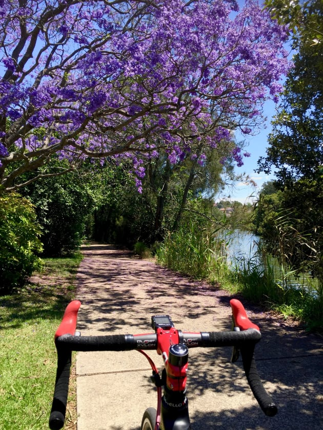 A jacaranda tree in full bloom along the banks of the picturesque Cooks River.