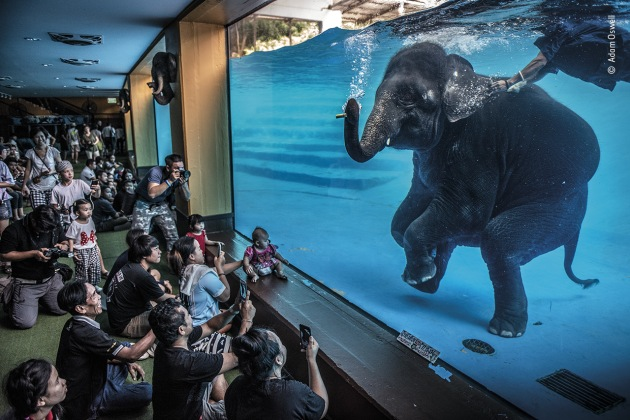 Elephant in the room by Adam Oswell, Australia, Winner, Photojournalism. Adam Oswell (Australia) draws attention to zoo visitors watching a young elephant perform under water. Although this performance was promoted as educational and as exercise for the elephants, Adam was disturbed by this scene. Organisations concerned with the welfare of captive elephants view performances like these as exploitative because they encourage unnatural behaviour. Elephant tourism has increased across Asia. In Thailand there are now more elephants in captivity than in the wild. The Covid-19 pandemic caused international tourism to collapse, leading to elephant sanctuaries becoming overwhelmed with animals that can no longer be looked after by their owners. Nikon D810 + 24–70mm lens 1/640 sec at f2.8 ISO 1250.