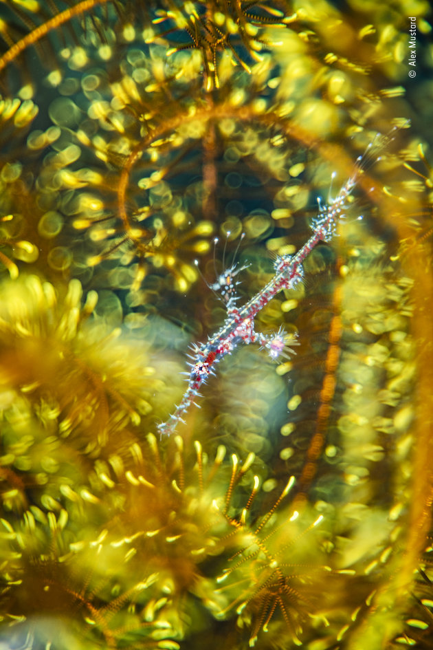 Bedazzled by Alex Mustard, UK Winner, Natural Artistry Alex Mustard (UK) finds a ghost pipefish hiding among the arms of a feather star. Nikon D850 + Trioplan 100mm f2.8 lens 12mm extension tube ND8 filter FIT +5 close-up lens 1/250 sec at f2.8 ISO 80 Subal housing two Retra strobes.