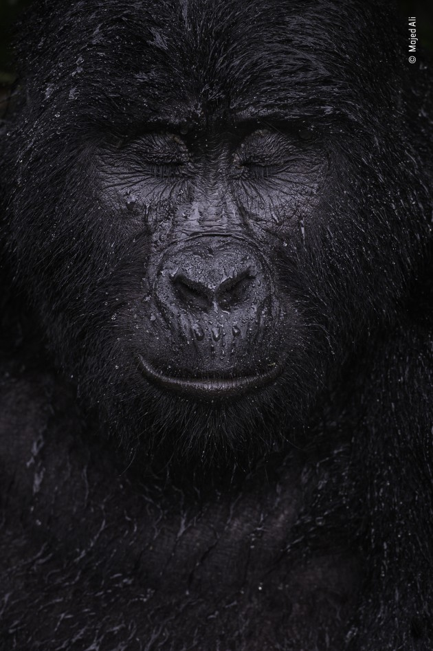Reflection by Majed Ali, Kuwait, Winner, Animal Portraits. Majed Ali (Kuwait) glimpses the moment a mountain gorilla closes its eyes in the rain. Nikon Z6 + 70–200mm f2.8 lens at 200mm 1/320 sec at f6.3 ISO 640.
