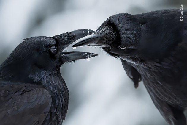 The intimate touch by Shane Kalyn, Canada Winner, Behaviour: Birds Shane Kalyn (Canada) watches a raven courtship display. Nikon D500 + 200–500mm f5.6 lens at 420mm 1/1250 sec at f7.1 ISO 900.