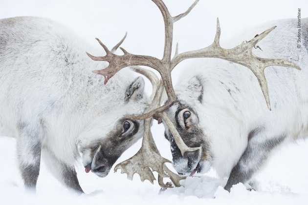 Head to head by Stefano Unterthiner, Italy, Winner, Behaviour: Mammals Stefano Unterthiner (Italy) watches two Svalbard reindeer battle for control of a harem. Nikon D5 + 180–400mm f4 lens at 400mm 1/640 sec at f4 ISO 3200.