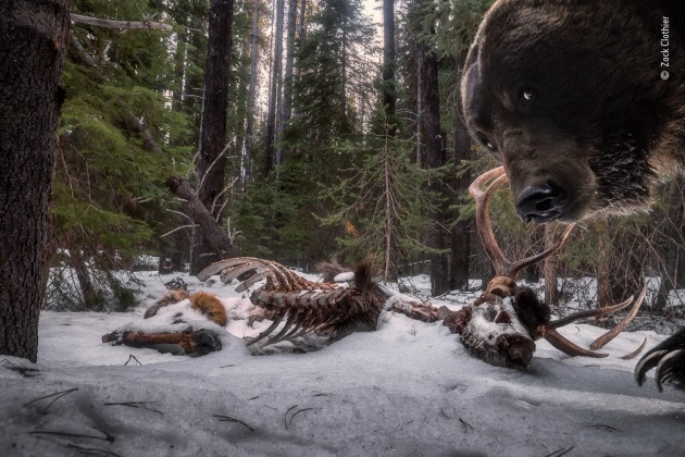 Grizzly leftovers by Zack Clothier, USA, Winner, Animals in their Environment Zack Clothier (USA) discovers a grizzly bear has taken an interest in his camera trap. Nikon D610 + 18–35mm f3.5–4.5 lens at 25mm 1/160 sec at f10 (-1.7 e/v) ISO 1000 two Nikon SB-28 flashes self-made camera-trap system.
