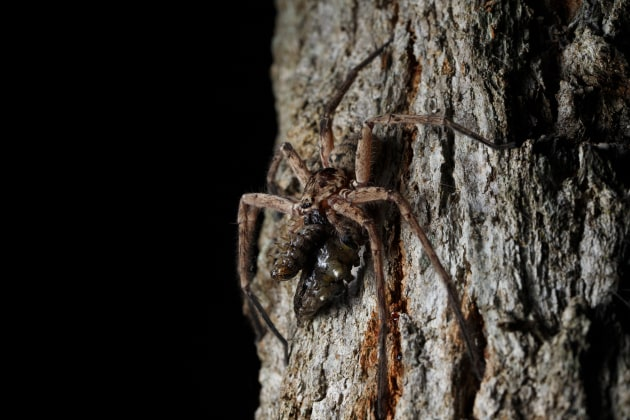 © Joshua Prieto - Huntsman Spider with caterpillar prey. Canon 6D Mark II, Tamron SP 90mm f/2.8 VC Macro lens. 1/60s @ f/13, ISO 400. Single off-camera Canon 430 EX speedlight flash held slightly above the spider.