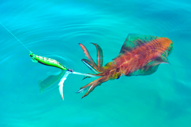 Best squid jig colour - Page 8 - General Squid Fishing ... |Best Squid Jigs