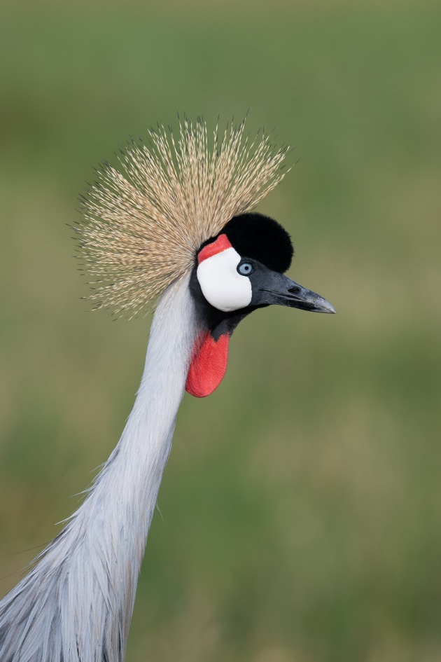 It's important to keep an eye out for distractions when photographing birds such as this Crowned Crane in Kenya, Africa. Smooth, clear backgrounds are recommended as they make your subject stand out.