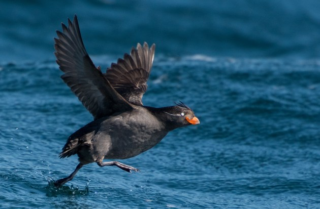 Lots of patience was needed when photographing this tiny Crested Auklet, which is tiny and very fast moving. In the end, I 'nailed' this one just as it was taking off, after resting on the water.