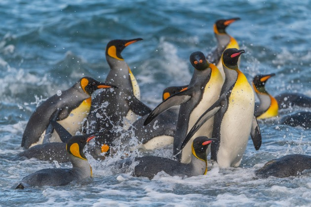 Getting down at eye level was the key to photographing these King Penguins in South Georgia. I made certain my shutter speed was high and that I used continuous focus and burst mode.