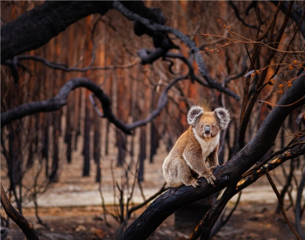 "Resilience by Julie Fletcher. Terrestrial Wildlife Finalist, Kangaroo Island, South Australia. In 2018, Australia experienced its third-hottest year on record—temperatures that, coupled with historic droughts, created prime conditions for bushfires. For slow-moving koalas (Phascolarctos cinereus), the odds of surviving fast-burning blazes like these are slim. Which made photographer Julie Fletcher's discovery on this day all the more surprising. Having set out to document the desolate, fire-ravaged forests on Kangaroo Island off South Australia, Fletcher watched as the determined koala, its fur tinged burnt sienna, climbed a tree and began to munch charred, crispy leaves. ""He was watching me the whole time,"" she says, ""with an intensity that told the story."