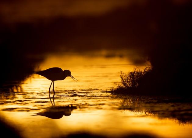 Black-winged stilt. Image: Michael Snedic