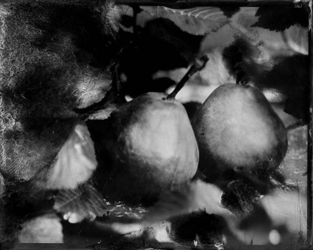 "© Brence Coghill & Sharon Blance. Still Life with Pears, 2020. Wet plate collodion photograph on 4x5 inch aluminium plate with hand-induced chemical intervention made by soaking areas of the plate in solvent to loosen and release the image-forming silver layer, causing veiled forms to appear. Recently awarded an Honourable Mention at the 2020 PX3 Prix de la Photographie awards in Paris, this image was created at home during COVID-19 lockdown using found items. ""When the lockdown disrupted everything and life became still, we experimented with creating disrupted still life images."""
