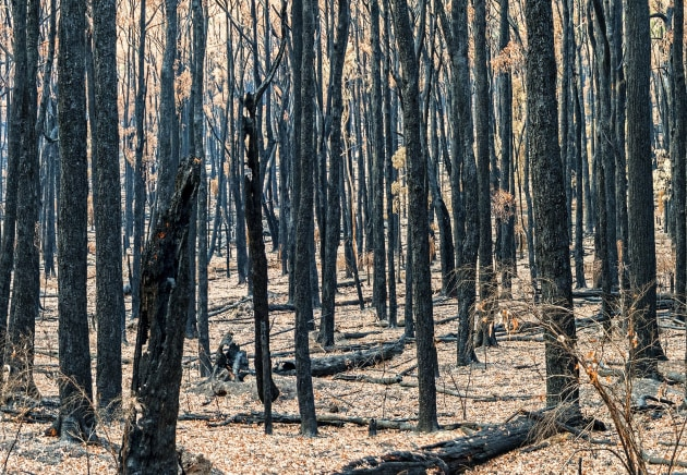 Bushfire consequences: Virgin tree stocks which produce kraftliner take major hit