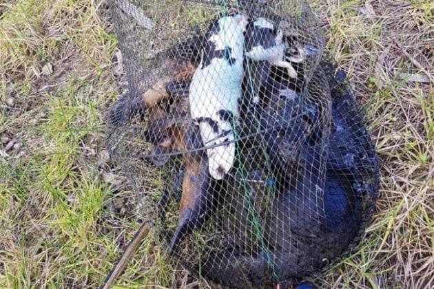 Seven platypus dead in yabby net - Fishing World