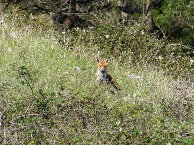 Outsmarting The Wily Fox - Sporting Shooter