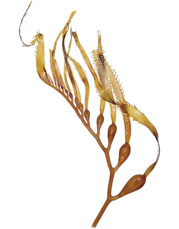 Australian kelp - foodservice