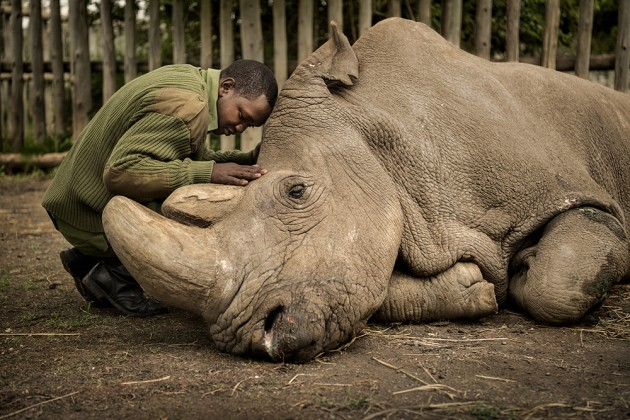 © Ami Vitale - Sudan, the last male northern white rhino