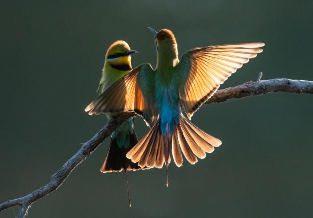 Rainbow bee eaters. Image: Michael Snedic