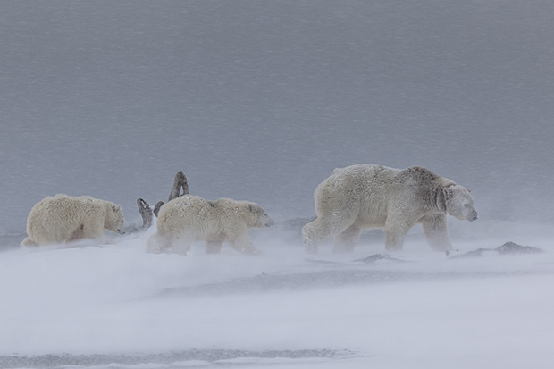 From the series 'Polar Bear Journey' by Judith Conning, 2014 Landscape Photographer of the Year.