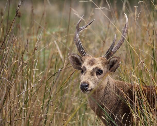 Hog deer stag
