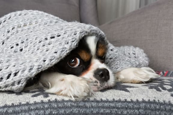 Dog on couch with blanket over head at The Kensington, Pleasanton, California