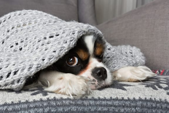 Dog on couch with blanket over head at Retreat at the Flatirons, Broomfield, Colorado