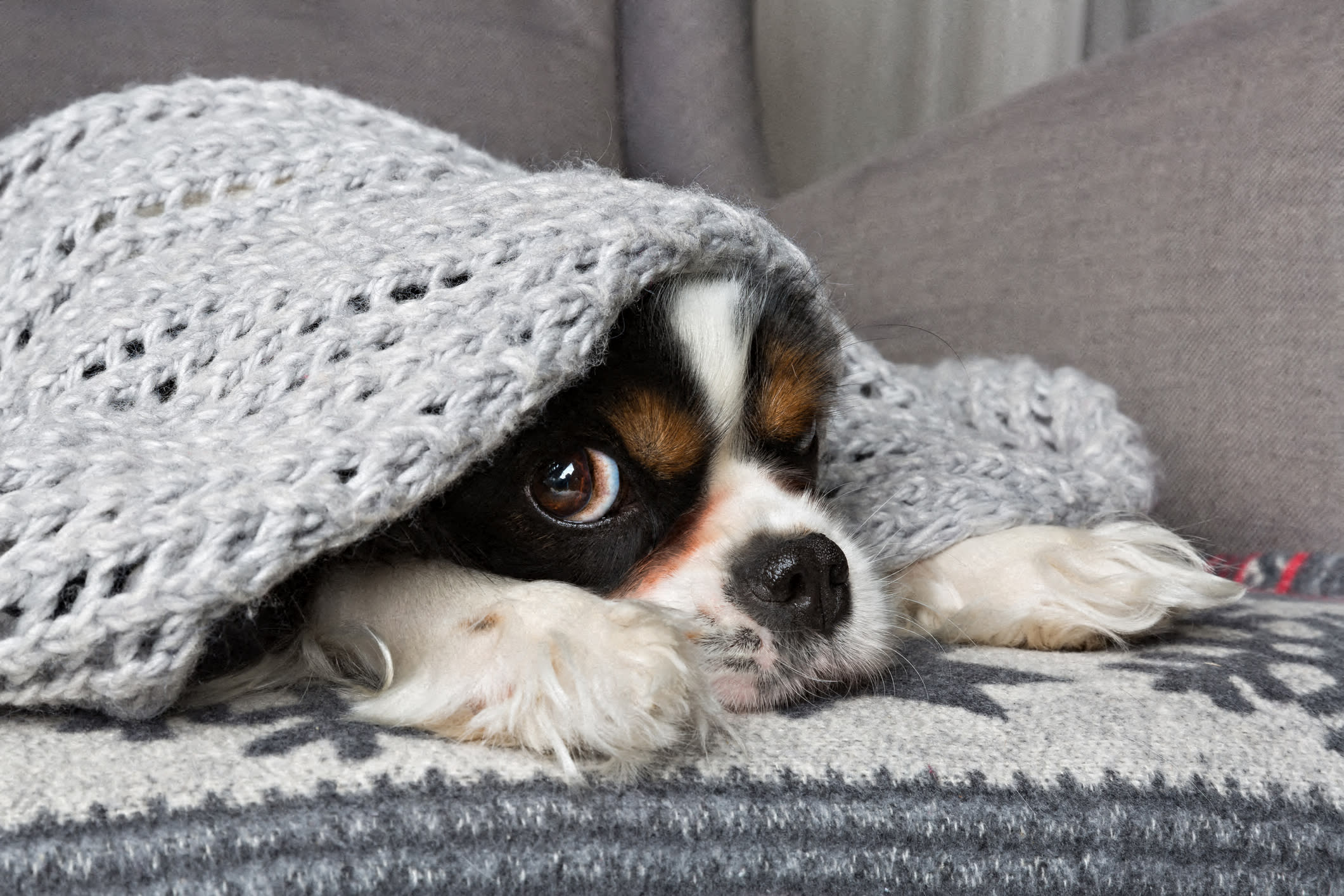 Dog on couch with blanket over head at Windsor at Pinehurst, CO, 80235