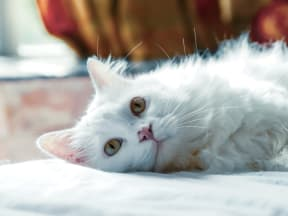 close up on the face of a white fluffy cat laying down on it's side