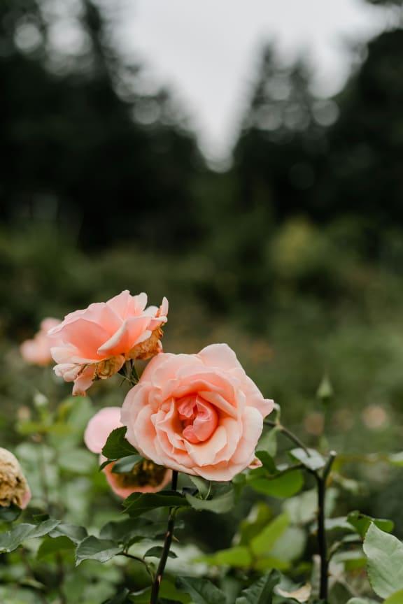 Rose garden at Rancho Franciscan Senior Apartments, Santa Barbara