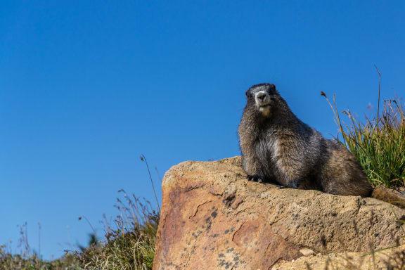 Groundhog at Shepard Place, California