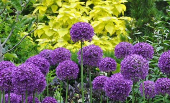 Powells Garden Federal Way, Washington Purple Flowers and Bushes