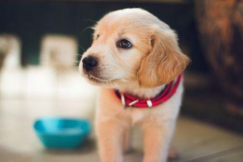 Hundvalp golden retriever med rött halsband