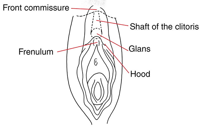 The front commissure