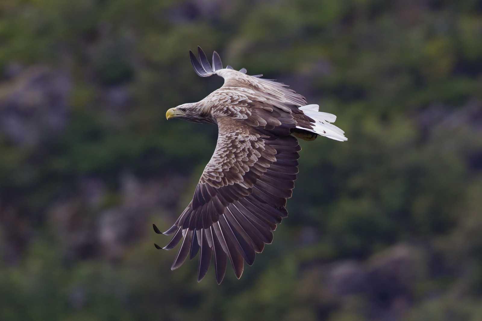 Орлан-белохвост. Фото: Yathin S Krishnappa/Wikimedia/CC-BY-SA-3.0.