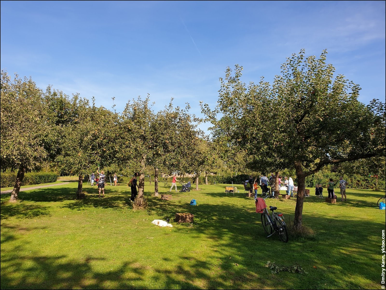 Хаутен: сбор яблок.