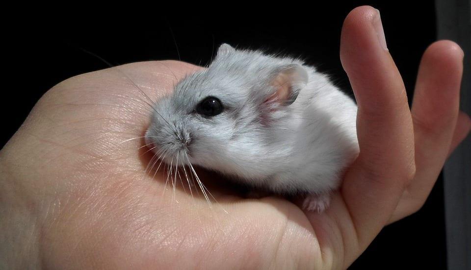 Dwarf Hamster Being Handled