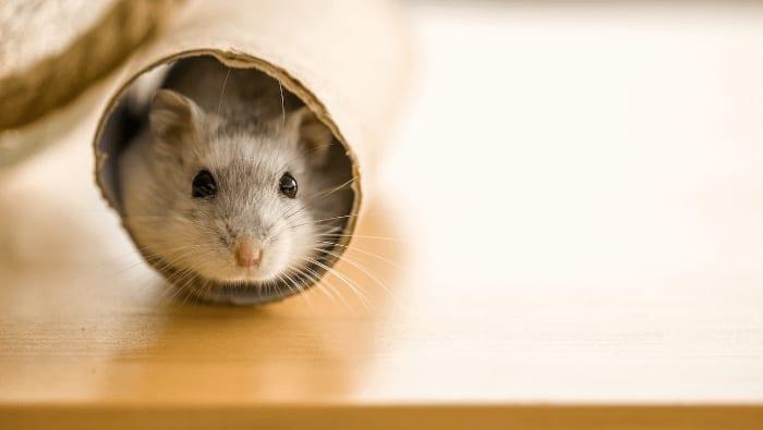 Roborowski Dwarf Hamster In Tube