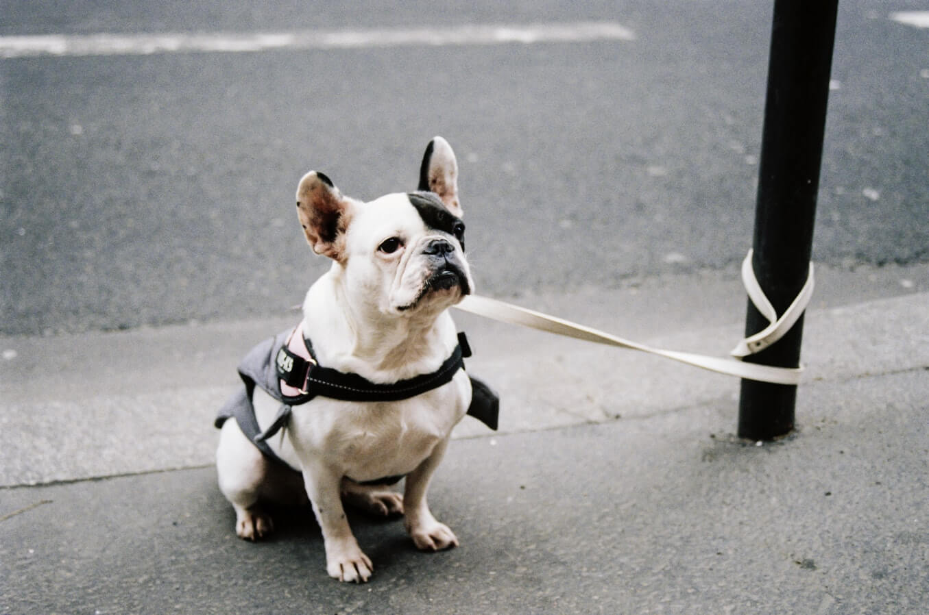 French Bulldog Tied To A Pole