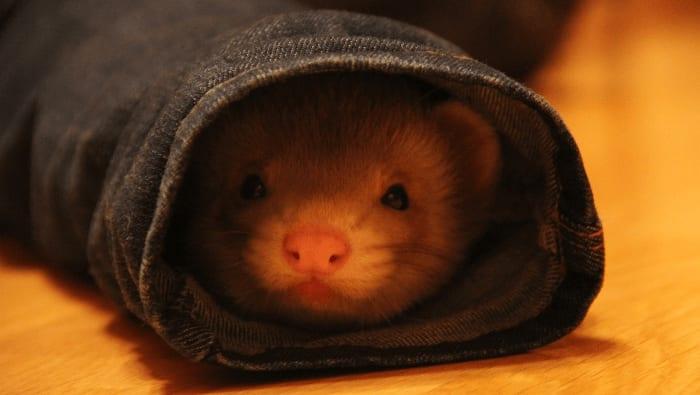 Ferret Hiding In Jeans